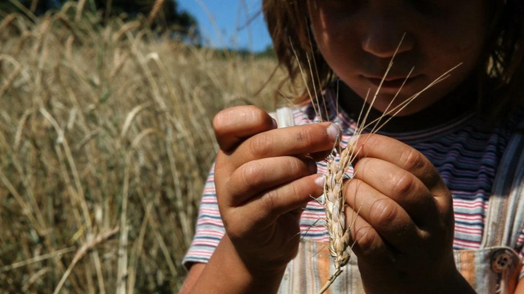 trigo colheita 3-2